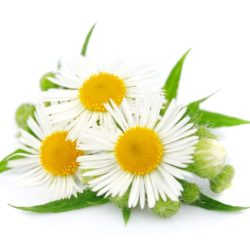 21NH_ingredients_chamomile