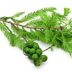 21NH_ingredients_cypress