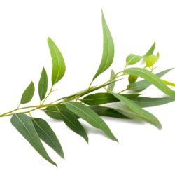 21NH_ingredients_eucalyptus