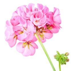 21NH_ingredients_geranium
