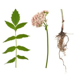 21NH_ingredients_valerian